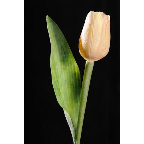 Tulipán broskvový